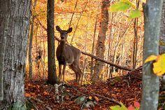 A beautiful fall scene with Deer.