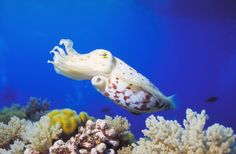 The cuttlefish is a master of disguise, with the ability to change its appearance to mimic its surroundings. If it senses danger, poof -- it sends out a smoke screen of ink to confuse the enemy.
