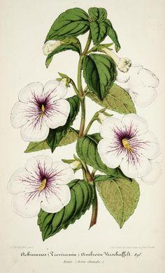 v.2 (1855) - L'Illustration horticole : - Biodiversity Heritage Library