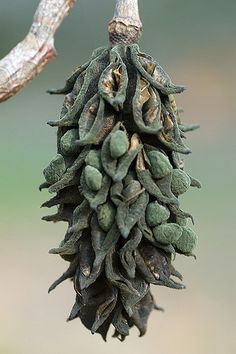 Glorious seed pods