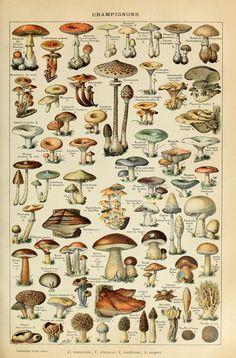 adolphe millot (1857–1921) - champignons