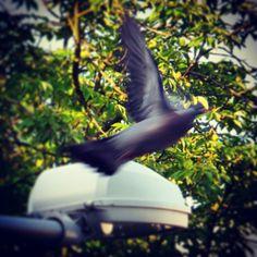 Gołębsen take off! #golab #ptaki #bird #