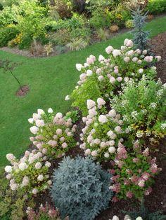 Hydrangeas in our garden. http://wilczagora.blogspot.com