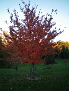 Maple Firefall Acer X Freemanii Af 1 Height 40 60 Spread 30 Zone 4 Shade Sun Full Fall Color Bright Orange To Scarlet Has An