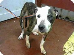 ■■■■SCARED DOG NEEDS A HOME NOW HE'S OUT OF TIME ACT QUICKLY ■■■■  Atlanta, GA - Pit Bull Terrier. Meet ED, a dog for adoption. http://www.adoptapet.com/pet/15941963-atlanta-georgia-pit-bull-terrier