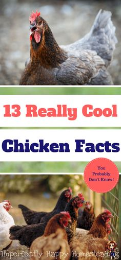 Chicken facts - some really amazing information on chickens you may have never heard before. Here are 13 really cool chicken facts for you! Portable Chicken Coop, Chicken Coop Plans, Building A Chicken Coop, Diy Chicken Coop, Chicken Feeders, Chicken Tractors, Raising Meat Chickens, Baby Chickens, Chickens Backyard