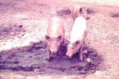 Pigs at Don's farm
