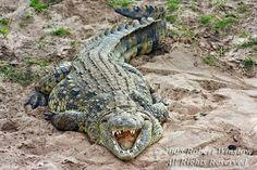 Crocodylus niloticus - Nile Crocodile