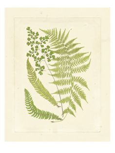Ferns with Platemark III Giclee Print at Art.com