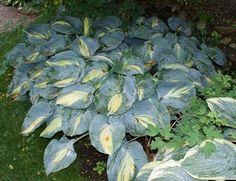 Dream Queen Hosta from NH Hostas got this one last year. very slow grower but looks better with age.