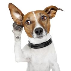 Dog (Parson Jack Russell) listening with big ear; it's the sounds of the Poodle Peace Parade coming this way! by Javier Brosch, via ShutterStock Funny Animal Pictures, Funny Animals, Cute Animals, Dachshund Funny, Jack Russell Terriers, Deaf Dog, Education Canine, Facts For Kids, Jack Russells