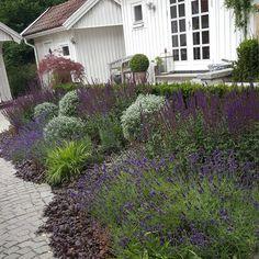 Efter tre år så har hakonegräset äntligen etablerat sig i den blå rabatten.Växer tillsammans med Salvia 'Caradonna', Revsuga, Lavendel, Havtorn 'Hikul', Kärleksört