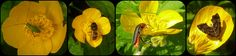 Buttercups - Explore 19-06-13 :-) | Flickr - Photo Sharing!