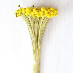 """Preserved Billy Button Bundle - Craspedia in Yellow 3 oz Bunch Approximately 16"""" Tall"""