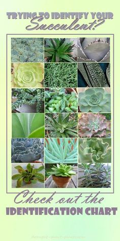 Use the Succulent Identification Chart to find your unknown succulents; puzzling over their names and how to care for them?