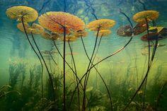 Комментарий фотографа Франса Лэнтинга: «Во время работы в дельте реки Окаванго я постоянно искал способ передать саму сущность этих влажных земель. Окаванго занимает тысячи километров, но на самом деле это всего лишь тонкая полоска воды, прорезавшая пески Калахари. Водяные лилии привлекли меня, потому что они символизируют жизнь, которая стала возможной благодаря воде в этих сухих местах. Однажды я увидел, как кувшинки цепляются за речное дно. Эта идея засела мне в голову. Я спрыгнул в…