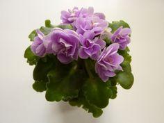 Peppermint Girl (H. Pittman) Double rose/white edge. Tiny, girl foliage. Miniature (DAVS 1319, TX Hyb)