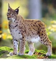 Image result for lynx