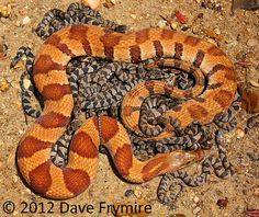 All species of Kentucky Nerodia produce live young. The largest females typically produce the most offspring. Second only to the Diamondback Water Snake, the Midland Water Snake produces very large batches of young. The above female would give birth to 28 young.