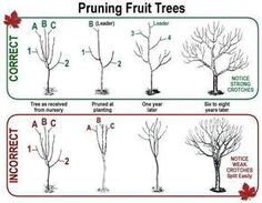 Pruning fruit trees I also learned that it is a good idea to cut the Leader when the tree is as tall as you can reach when standing on a ladder That way harvesting is easier. Keep the boughs far enough apart for a bird to fly through. Keep in trim for consistent yields.