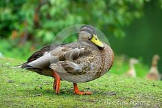 Duck In Nature - Download From Over 28 Million High Quality Stock Photos, Images, Vectors. Sign up for FREE today. Image: 47493102
