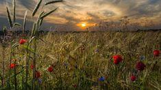 Summer field ( Patrick Pleul /dpa)