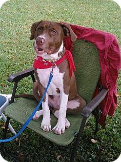 http://www.adoptapet.com/pet/7791662-euless-texas-basset-hound-mix