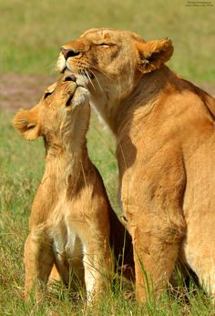 ~~Lion Kisses ~ mother lion and cub by Michael Fitzsimmons~~
