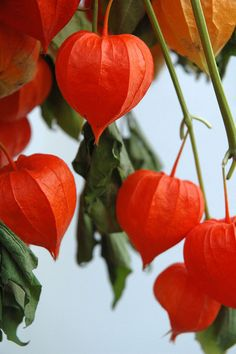 Chinese Lanterns I have these...they're really nice when the weather turns cooler. All over the garden bed, when everything else is dying away.