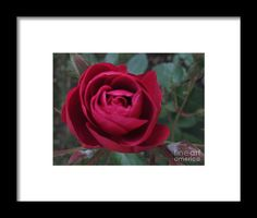 Roses Framed Print by Cotfas Doina. All framed prints are professionally printed, framed, assembled, and shipped within 3 - 4 business days and delivered ready-to-hang on your wall. Choose from multiple print sizes and hundreds of frame and mat options. Framed Prints, Rose, Day, Places, Flowers, Pink, Roses, Royal Icing Flowers, Flower
