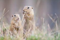 Ground Squirrel (Spermophilus citellus) by OndejChvtal via http://ift.tt/2ipapGA