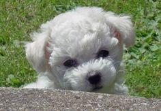bichon frise puppies   Harvey the Bichon Frise   Puppies   Daily Puppy
