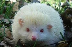 Top 10 Pictures Of The Rarest Albino Animals From crocodiles to gorillas, these are ten images of the rarest albino animals in the world, and it seems albinism can make them look even more amazing. Albino Hedgehog, Hedgehog Pet, Cute Hedgehog, Hedgehog House, Unique Animals, Animals Beautiful, Animals And Pets, Funny Animals, Melanistic Animals