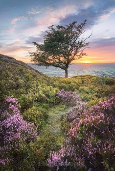 Heather over Farndale with a solitary Hawthorne tree