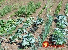 Keď budete na jar sadiť, túto zeleninu dajte vedľa seba, má to ohromný efekt: Rastliny budú plodiť dvojnásobne a odplašia hmyz! Natural Garden, Flora, Gardening, Nature, Plants, Irish, Lawn And Garden, Naturaleza, Irish Language