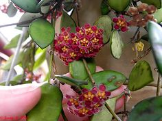 gracilis flickr 047 plants garden indoor plants brisbane hoya lots photo sharing flickr photo brisbane office plants