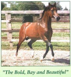 Karnaval (SU) 1987 Straight Russian stallion. Bred by Tersk State Stud. Naftalin (Topol x Nepriadwa by Pomeranets) x Karinka (Aswan x Karta by Arax)