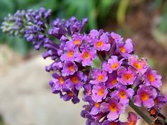 This is a bicolor butterfly bush - ours is purple and peach.  This is not invasive in CA, but we should be careful to dispose of cuttings.