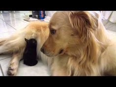 These Three Kittens Never Had a Dad Until They Met a Golden Retriever Dog - Love Meow