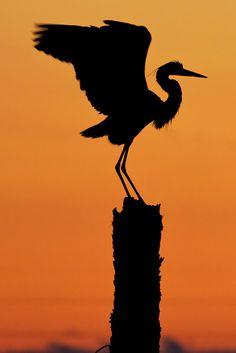 """Great Blue Heron Silhouette"" by Photomatt28 on Flickr - GREAT BLUE HERON SILHOUETTE"