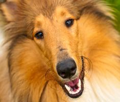 Collies, Scotties, and Other Out-of-Fashion Dog This Vet Misses