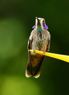 The Brown Violet-ear Hummingbird flashes its famous purple ears for the camera. (© James Adams)