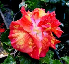 gold rain hibiscus | GOLD RAIN is a 5 to 7 inch loose double ...orange edges become coral ...