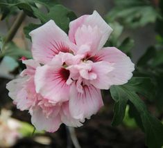 [What a pretty Rose of Sharon!] Hibiscus syriacus 'Lady Stanley'