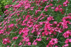 dianthus-light pink. medium. $5.50/bunch