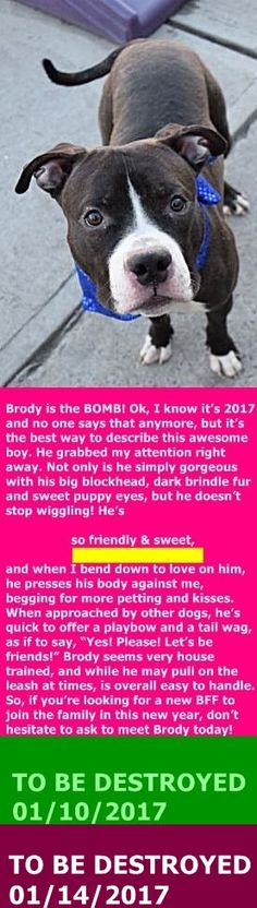 SAFE 01/14/17 --- Brooklyn Center My name is BRODY. My Animal ID # is A1100587. I am a male bl brindle and white am pit bull ter mix. The shelter thinks I am about 1 YEAR 7 MONTHS old. I came in the shelter as a STRAY on 12/27/2016 from NY 11236, owner surrender reason stated was STRAY. http://nycdogs.urgentpodr.org/brody-a1100587/