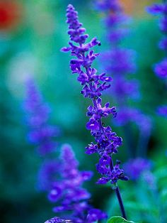 """Salvia farinacea """"Henry Duelberg"""" perennial-attracts hummingbirds and butterflies. Cutting back the spikes after the flowers are spent encouragesz the plant to rebloom. Super Plants for Texas Landscapes"""