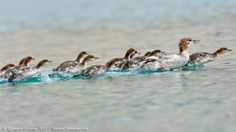Common Merganser female with young