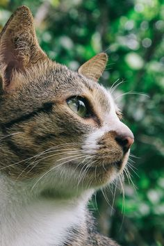 Close Up Photo of Gray and White Tabby Cat
