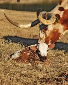 Texas Longhorns are attentive moms, known to have small calves that cause few problems at birthing and grow up to be robust adults. (Photo Credit: Darlynn Lydick; Facebook share by the Texas Longhorn Cattle Assn.)